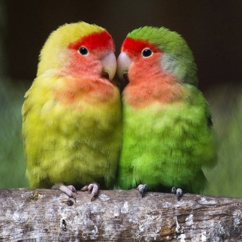 lovebirds_2012457i
